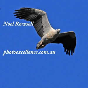 Sea Eagle NRR_1614
