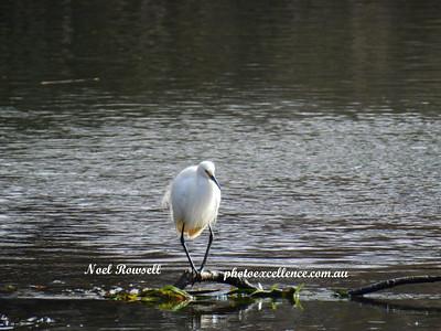 Bandy-Legged Egret DSCN6727