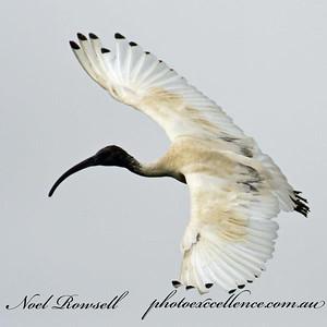 FB Australian White Ibis NR5_7112a