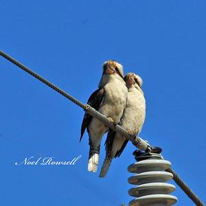 Kookaburras NRR_7283 FB