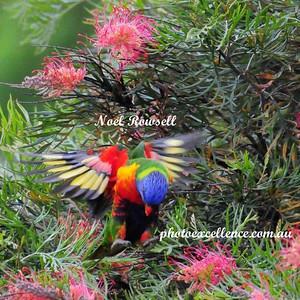 Rainbow Lorikeets NRR_5568