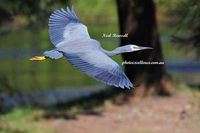 Heron NRR_0404 copy
