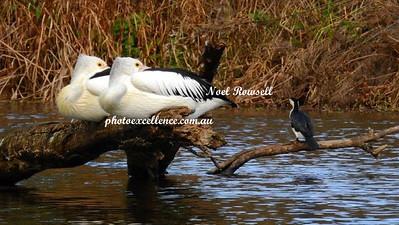 Pelicans & Cormorant DSCN6494