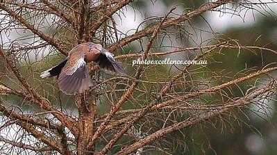 NRR_9133 Pidgeon