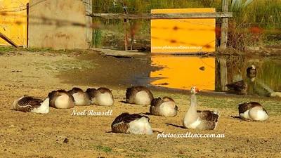 Geese DSCN0909