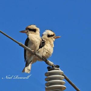 Kookaburras NRR_7292 FB