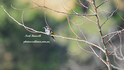 NH Honeyeater NRR_4913