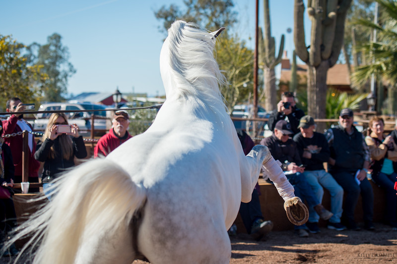 Arabians Int  Open House-179