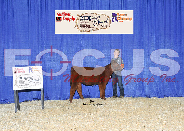 Chianina Female Show Backdrop