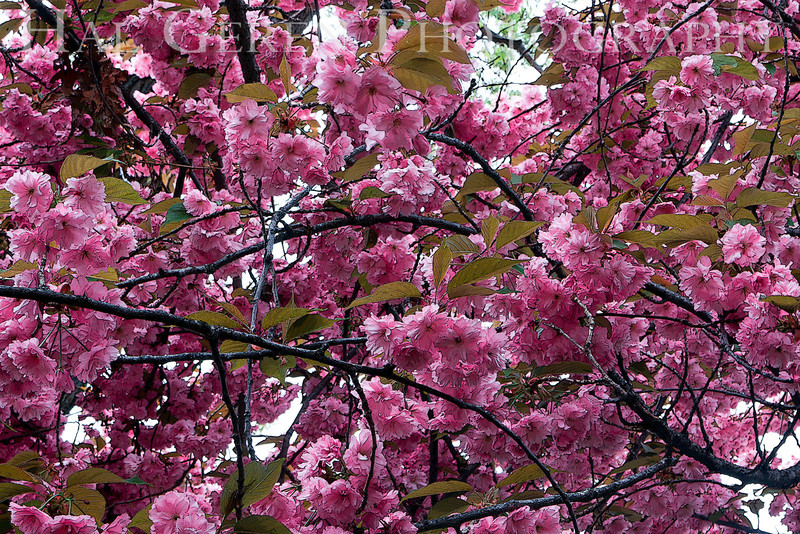 Cherry Blossoms<br /> Ananda Village Gardens<br /> Nevada City, California<br /> 1104W-ACB1