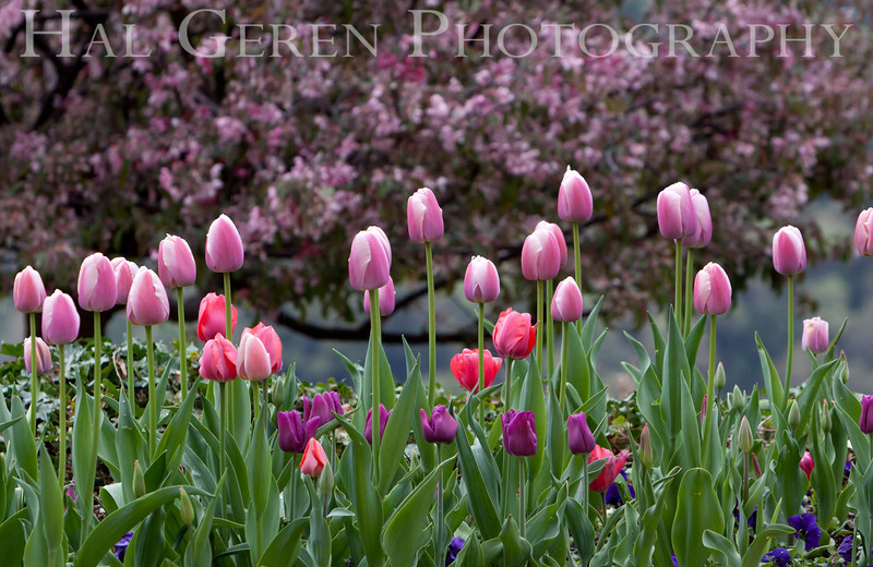 Tulips and Cherry Tree<br /> Ananda Village<br /> Nevada City, California<br /> 1104W-AT5
