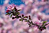 Tree Blossoms<br /> Daffodil Hill, California<br /> 0904D-T1