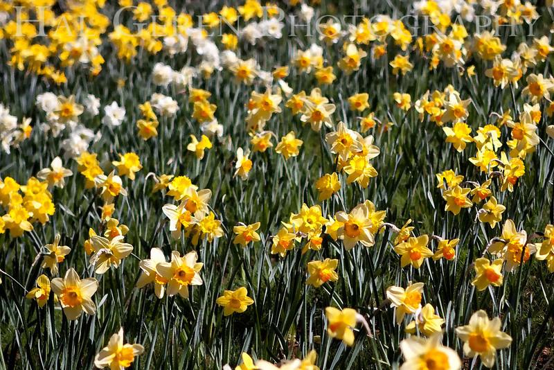 Daffodil Field<br /> Daffodil Hill, California<br /> 0904D-D10