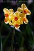 Daffodil 2<br /> Daffodil Hill, California<br /> 0904D-D2
