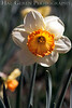 Daffodil<br /> Daffodil Hill, California<br /> 0904D-D1