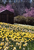Cabin Side<br /> Daffodil Hill, California<br /> 0904D-BS1