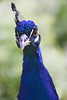 Belligerent Peacock<br /> Daffodil Hill, California<br /> 0904D-P1