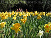 Daffodils with Children<br /> Daffodil Hill, California<br /> 0904D-D7j