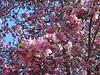Trees in Bloom<br /> Daffodil Hill, California<br /> 0904D-T1j