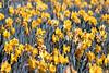 Daffodil Field<br /> Daffodil Hill, California<br /> 0904D-D8
