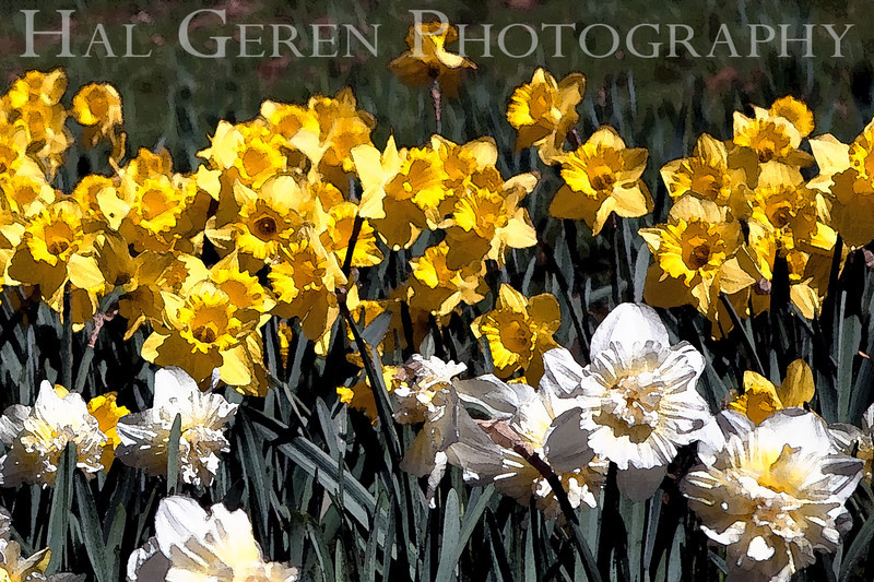 Daffodil Effect<br /> Daffodil Hill, California<br /> 0904D-D9