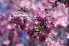 Trees in Bloom<br /> Daffodil Hill, California<br /> 0904D-T4E1