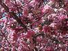 Trees in Bloom<br /> Daffodil Hill, California<br /> 0904D-T3j