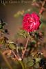 Heritage Rose Garden<br /> San Jose, California<br /> 0804HR-R5