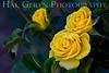 Heritage Rose Garden<br /> San Jose, California<br /> 0804HR-R3Y