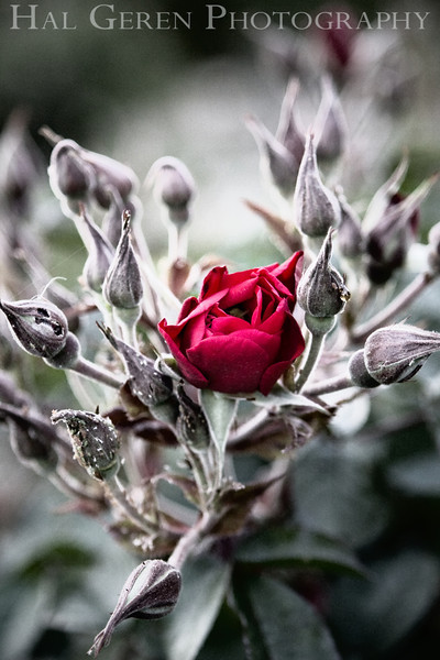 Heritage Rose Garden<br /> San Jose, California<br /> 0804HR-R8E1