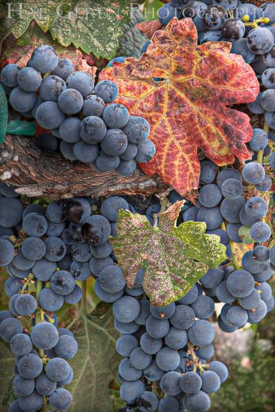 Grapes on the Vine<br /> Outside Sacramento, California<br /> 0908S-GH4