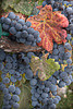 Grapes on the Vine<br /> Outside Sacramento, California<br /> 0908S-GH4