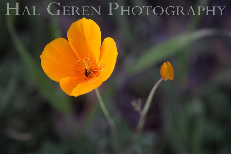 Poppies<br /> Yuba River, California<br /> 1303W-FP3