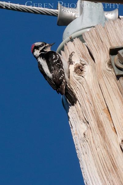 Woodpecker pecking wood<br /> 1303W-W1