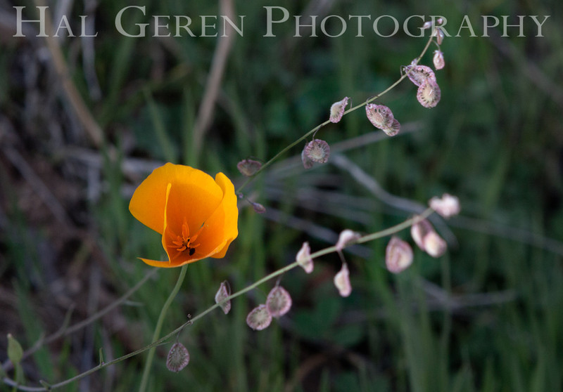 Poppies with Lace Pods<br /> Yuba River, California<br /> 1303W-FPWLP1