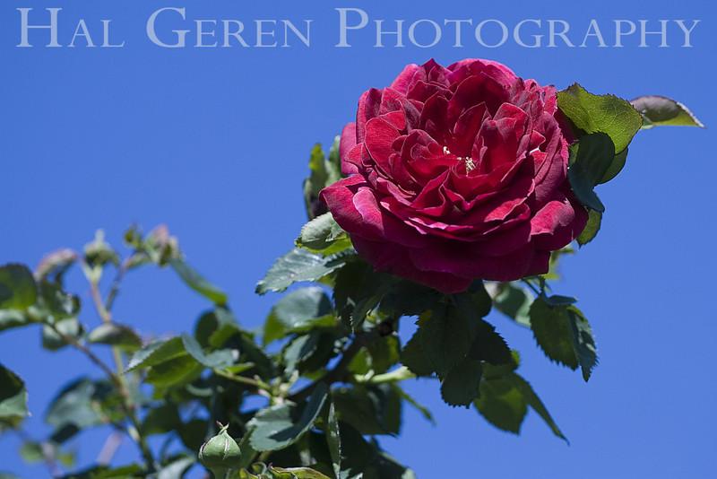 Heritage Rose Garden<br /> 0703HRG-F2