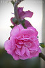 Rose 11<br /> Heritage Rose Garden<br /> San Jose, California<br /> 0903H-R11