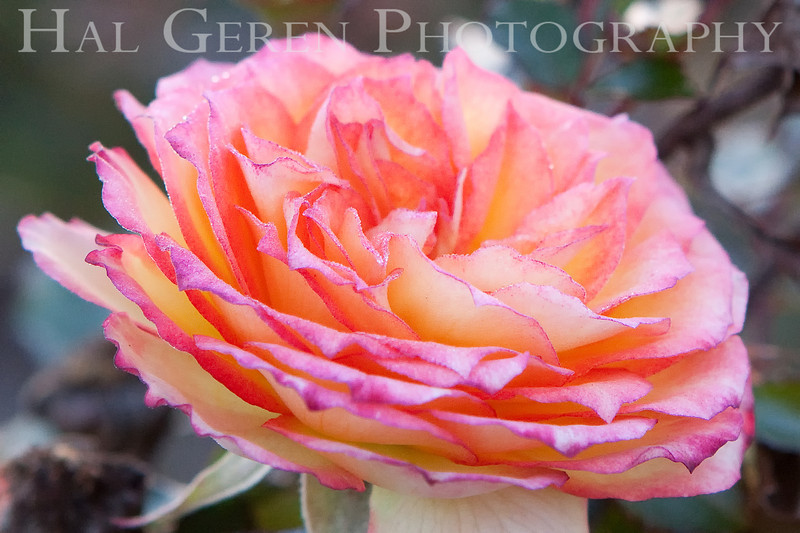Rose 9<br /> Heritage Rose Garden<br /> San Jose, California<br /> 0903H-R9