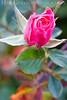 Rose<br /> Heritage Rose Garden<br /> San Jose, California<br /> 0903H-R5