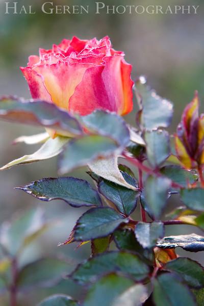 Rose 2<br /> Heritage Rose Garden<br /> San Jose, California<br /> 0903H-R2