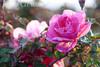 Rose 4<br /> Heritage Rose Garden<br /> San Jose, California<br /> 0903H-R4