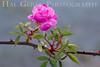 Rose 6<br /> Heritage Rose Garden<br /> San Jose, California<br /> 0903H-R6