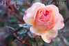 Rose<br /> Heritage Rose Garden<br /> San Jose, California<br /> 0903H-R10