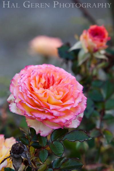 Rose 7<br /> Heritage Rose Garden<br /> San Jose, California<br /> 0903H-R7