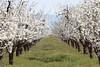 Orchard 3<br /> Marysville, California<br /> 0903W-O3