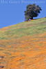 Poppies and Tree<br /> Amador County, California<br /> 0903W-P2A