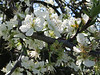 Blossoms 1j<br /> Marysville, California<br /> 0903W-B1j