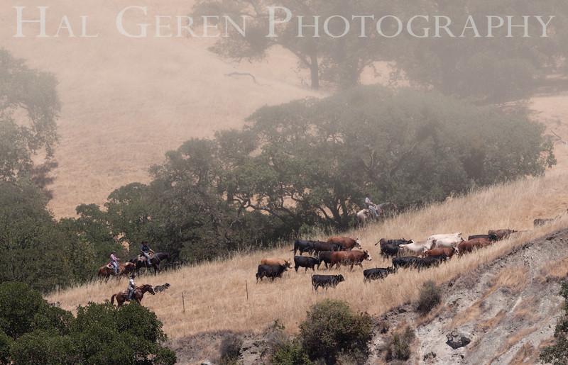201206 Sunol - Cattle Drive 5