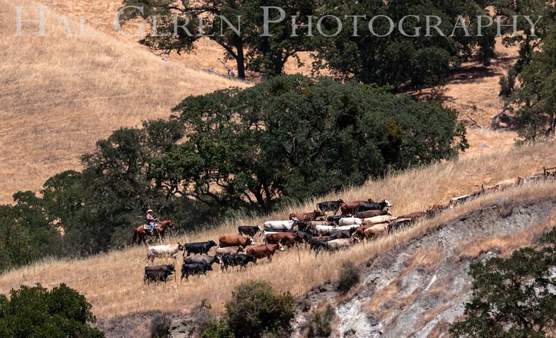 201206 Sunol - Cattle Drive 2