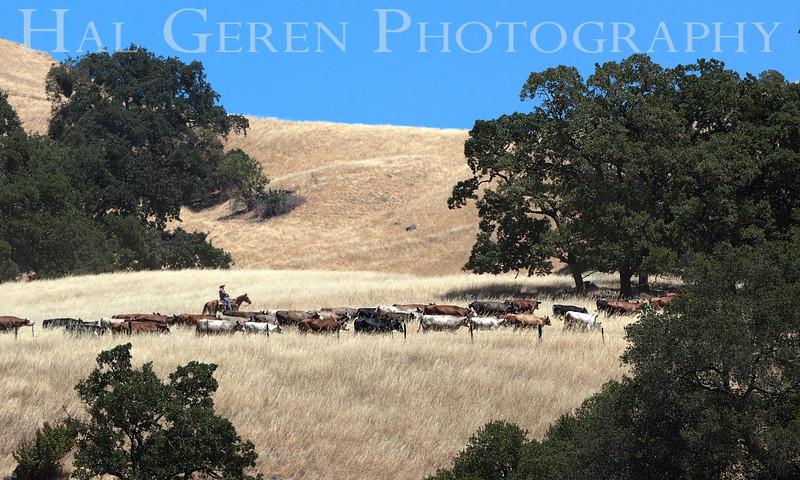 201206 Sunol - Cattle Drive 3